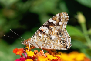 Papillon-Belle-Dame-2