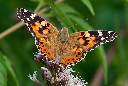 papillon belle dame 3