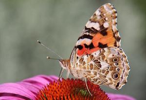 Papillon-Belle-Dame-4