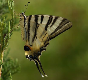 Papillon-Flambe-2