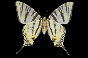 Papillon-Flambe-Female-Bottom