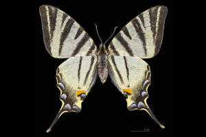 Papillon-Flambe-Female-Top