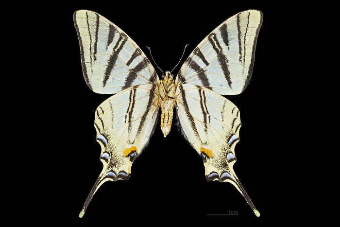 Papillon-Flambe-Male-Bottom