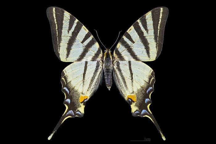 Papillon-Flambe-Male-Top