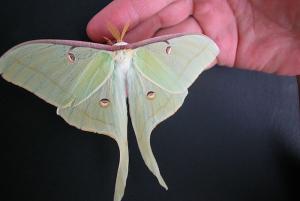 Papillon-Lune-2