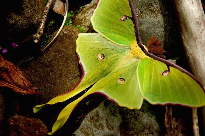 Papillon lune le site des papillons - Duree de vie papillon de nuit ...