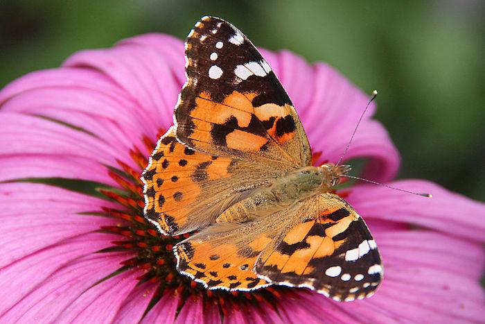 Papillon_Belle-Dame