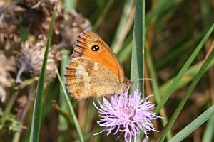 papillon-amaryllis-2