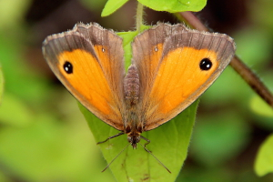 papillon-amaryllis-femelle