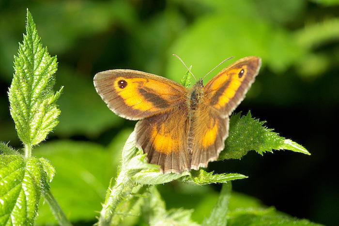 L'amaryllis Nymphalidae Val de May