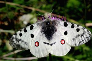 Papillon Apollon Femelle