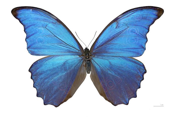 Papillon bleu le site des papillons - Dessin d un papillon ...