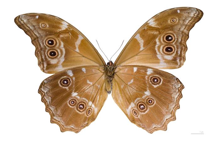 Morpho menelaus didius Male Ventre MHNT