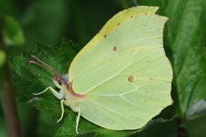papillon-citron-male
