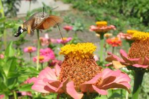papillon-colibri-3
