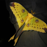 Papillon de Madagascar