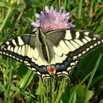 Papilon Machaon