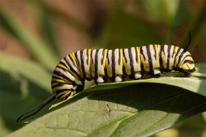 Le Papillon Monarque Chenille