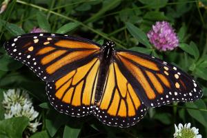 Papillon Monarque Femelle