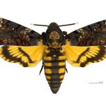Papillon Tete de Mort