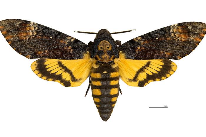 papillon sphinx - le site des papillons