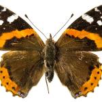 papillon-vulcain