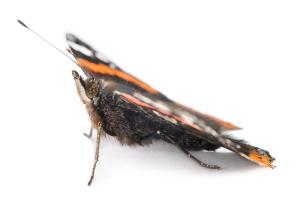 Papillon Vulcain Antennes