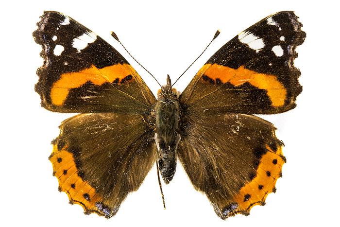 fiche didentit du papillon vulcain - Image De Papillon